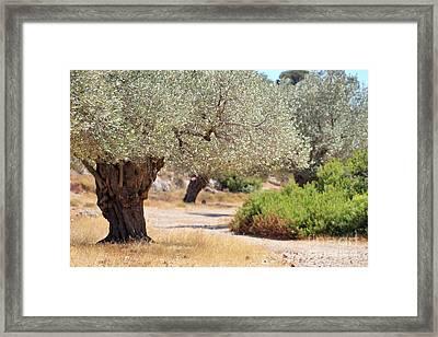 Olive Trees Framed Print