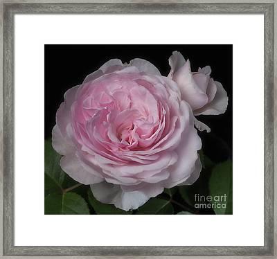 Olivia Austin Rose Framed Print