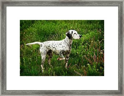 English Setter On Point Framed Print by Flying Z Photography By Zayne Diamond