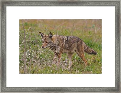 On The Prowl Framed Print by Carl Jackson