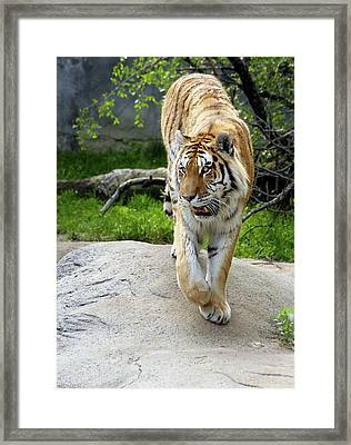 On The Prowl Framed Print by Gordon Dean II