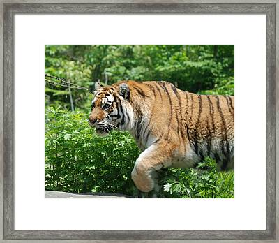 Framed Print featuring the photograph On The Prowl by Richard Bryce and Family