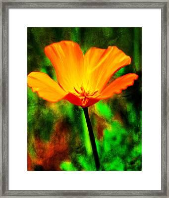 One California Poppy Framed Print