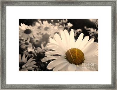 One Daisy Stands Out From The Bunch Framed Print