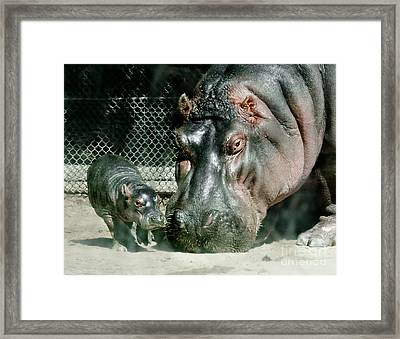 One Day Old Baby Hippo And Mom Framed Print