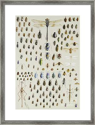 One Hundred And Fifty Insects, Dominated At The Top By A Large Dragonfly Framed Print