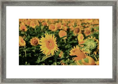 Framed Print featuring the photograph One In A Million Sunflowers by Chris Berry