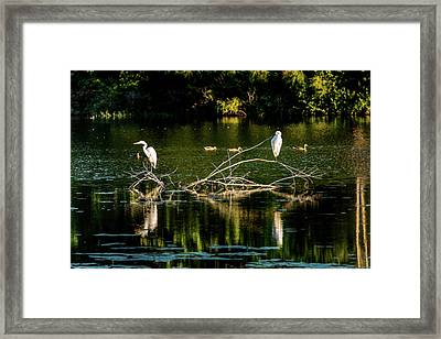 Framed Print featuring the photograph One Legged Egrets by Onyonet  Photo Studios