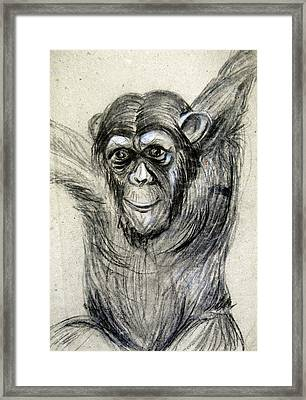 One Of A Kind Original Chimpanzee Monkey Drawing Study Made In Charcoal Framed Print by Marian Voicu