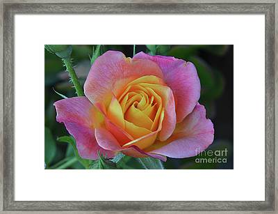 One Of Several Roses Framed Print by Debby Pueschel