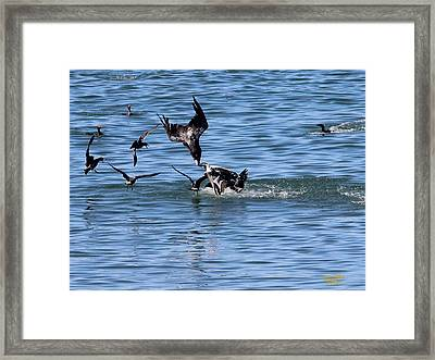 One Pelican Diving  Framed Print