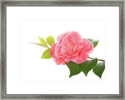 One Pink Camellia Framed Print by Sheila Fitzgerald