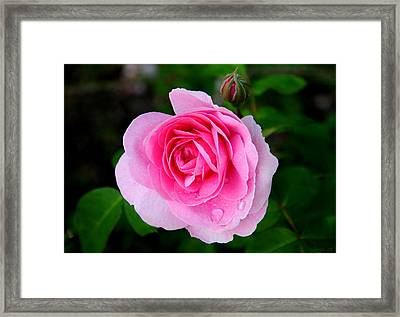 One Pink Rose And One Bud Framed Print