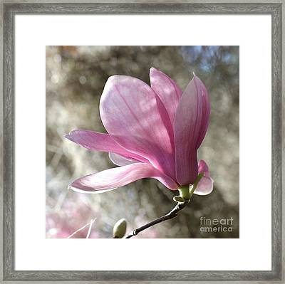 One Pretty Pink Magnolia Square Framed Print by Carol Groenen