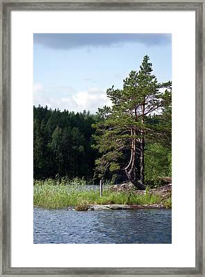 Pines At Saimaa Lakeside Framed Print