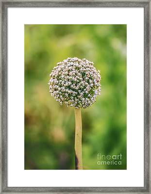 Onion Flower,onion Plant Head Framed Print