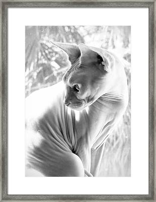 Opal Kitty In The Window Framed Print by Glennis Siverson