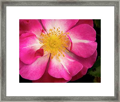 Open Pink Rose Framed Print by Jean Noren
