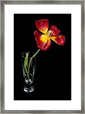 Open Red Tulip In Vase Framed Print by Helen Northcott