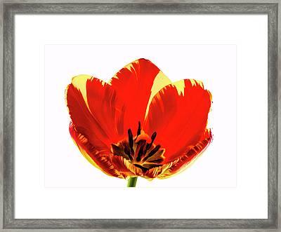 Open Tulip Framed Print by Jean Noren