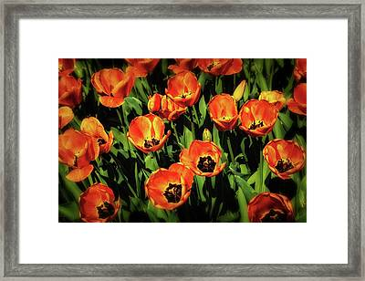 Open Wide - Tulips On Display Framed Print by Tom Mc Nemar