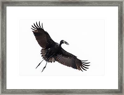 Openbill Stork Flying, Tarangire Framed Print by Panoramic Images