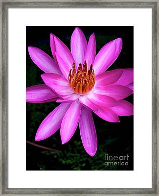 Opening - Early Morning Bloom Framed Print by Kerryn Madsen-Pietsch