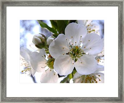 Framed Print featuring the photograph Opening Act -  Cherry Blossoms by Angie Rea