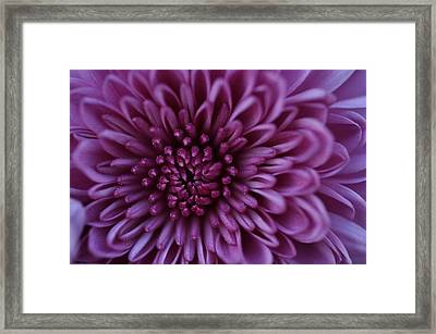 Framed Print featuring the photograph Purple Mum by Glenn Gordon