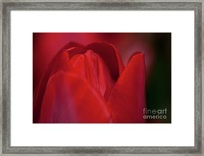 Opening Red Tulip Visit Www.angeliniphoto.com For More Framed Print