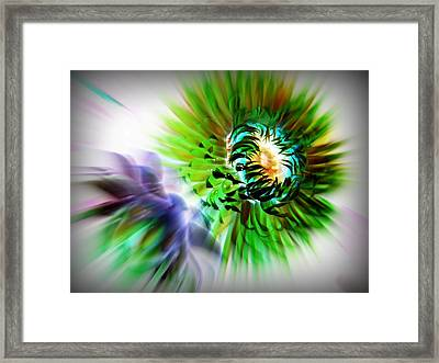 Opening Strawflowers Framed Print by Shirley Sirois
