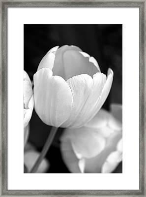 Opening Tulip Flower Black And White Framed Print
