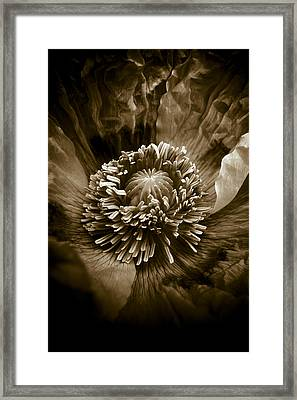 Opium Poppy Papaver Somniferum Framed Print