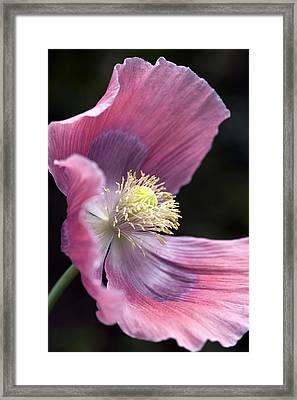 Opium Poppy - Papaver Somniferum Giganteum Framed Print