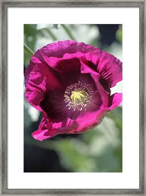 Opium Poppy Framed Print