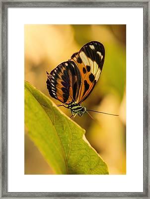 Orange And Black Butterfly On The Green Leaf Framed Print by Jaroslaw Blaminsky