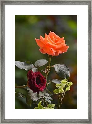 Orange And Black Rose Framed Print