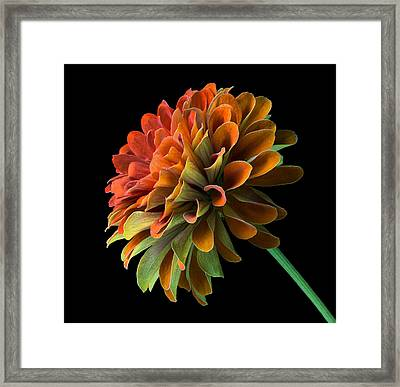 Orange And Green Zinnia  Framed Print by Jim Hughes