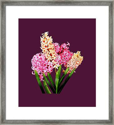 Orange And Pink Hyacinths Framed Print