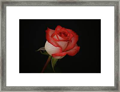 Orange And White Rose Framed Print by Sandy Keeton