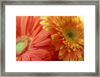 Orange And Yellow Daisies Framed Print