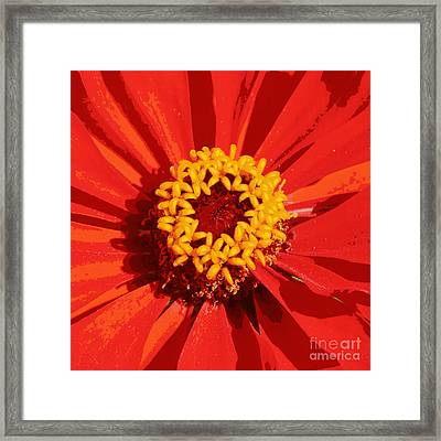 Orange And Yellow Zinnia Abstract Framed Print by Carol Groenen