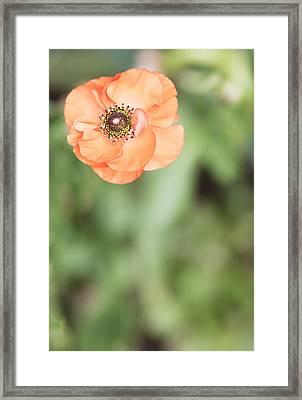 Orange Anemone Center Framed Print by Rebecca Cozart