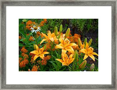 Framed Print featuring the photograph Orange Asiatic Lilies And Butterfly Weed by Kathryn Meyer