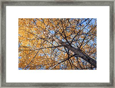 Orange Autumn Tree. Framed Print by Teemu Tretjakov