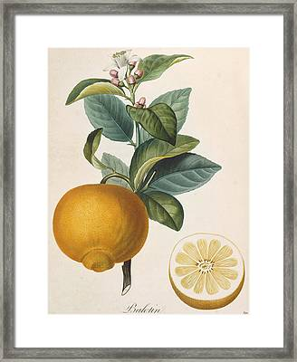 Orange Balotin Framed Print by Pierre Antoine Poiteau