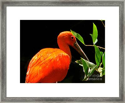 Orange Beauty Framed Print by Debra     Vatalaro