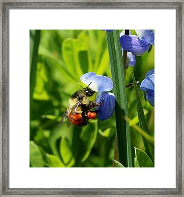 Framed Print featuring the photograph Orange-belted Bumble Bee by Christy Pooschke
