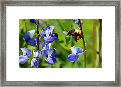 Framed Print featuring the photograph Orange-belted Bumble Bee In Flight by Christy Pooschke