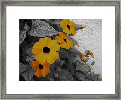 Orange Black Eyed Susan Framed Print by Flower Bomb